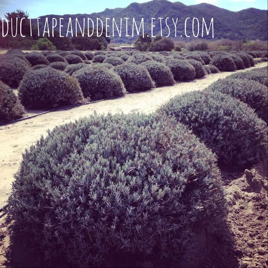 Lavender Farm | DuctTapeAndDenim.com