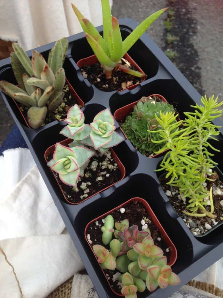 Succulents bought at Treasure Island Flea, April 2014 | DuctTapeAndDenim.com