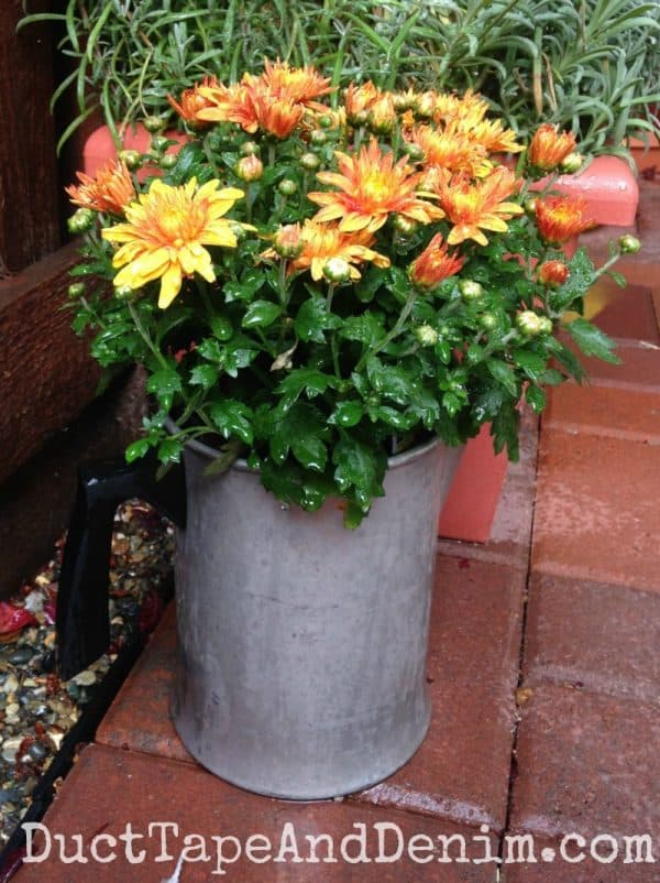 Fall mums in a vintage coffee pot ~ autumn container gardening ~ DuctTapeAndDenim.com