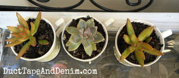 Planting Succulents in Vintage Teacups