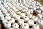 White pumpkins at the pumpkin patch. I wanted to take them ALL home with me! How to decorate with white pumpkins on DuctTapeAndDenim.com
