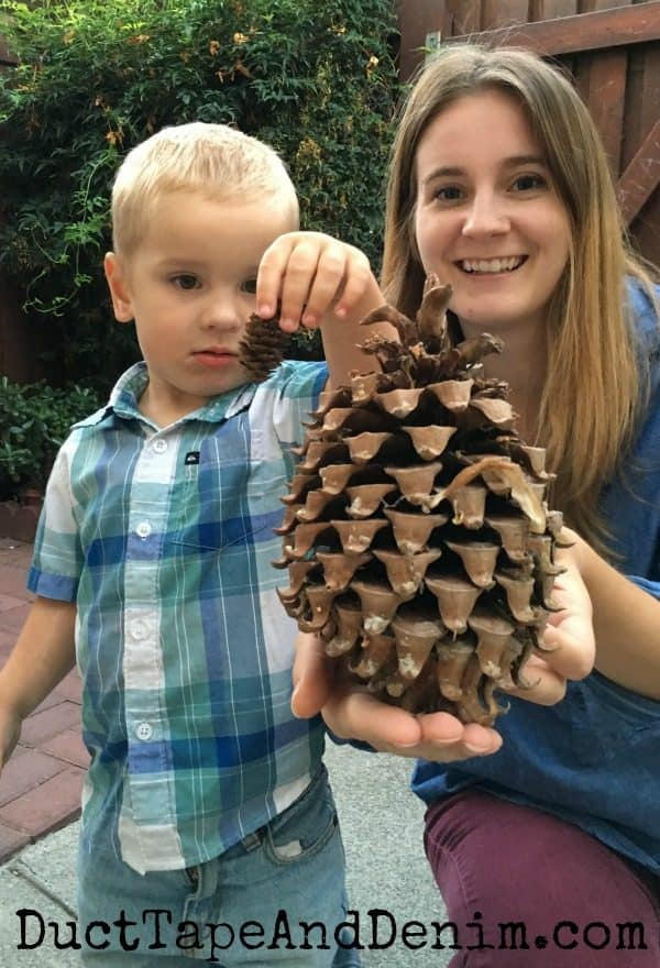 Giant pinecone compared to tiny pinecone | DuctTapeAndDenim.com