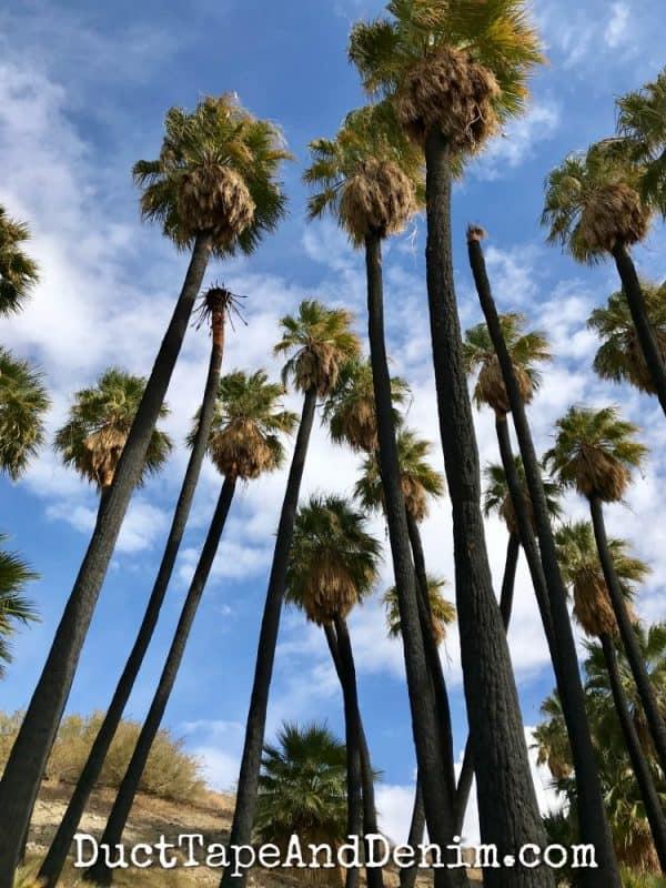 palm oasis in Coachella Valley Preserve | DuctTapeAndDenim.com